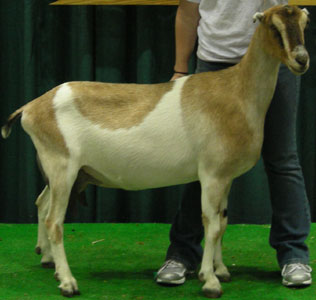 Breeds of Dairy Goats - LaMancha